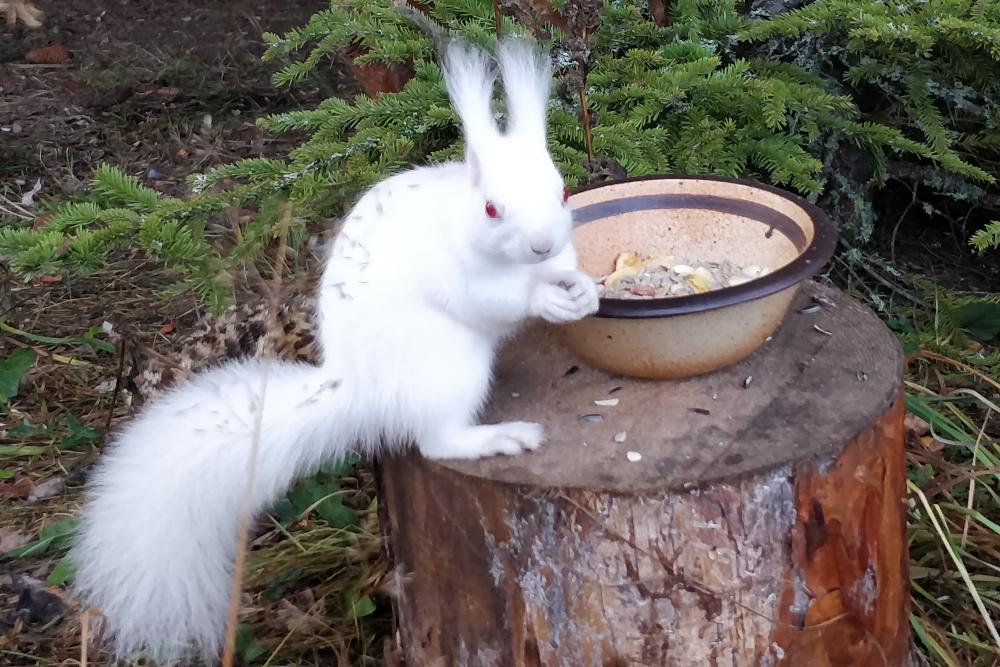 Pyhtään lintuhoitola, valkoinen orava