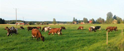 Lehmiä laitumella, Iittin Perheniemi