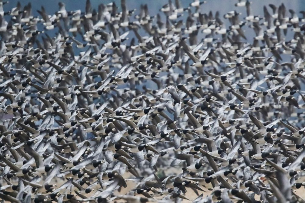Iitin köyritulien iltaa on jo useana syksynä vietetty Jäämereltä saapuneiden tuhansien hanhien massaturismin värittämänä. Nyt Iitin pelloilla ja järvillä lomailee n. 200000 hanhea 3