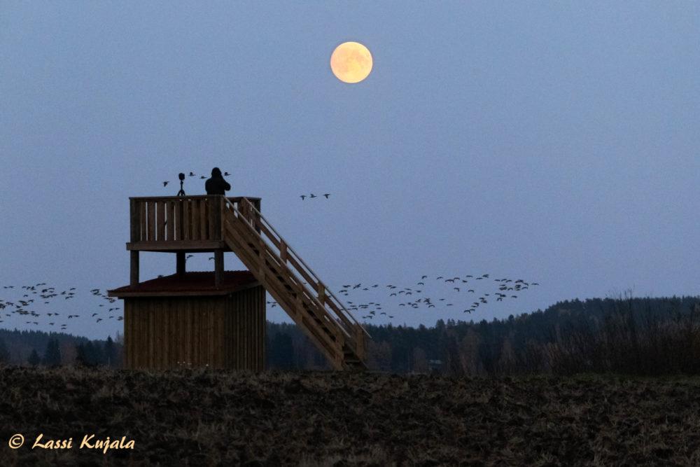 Iitin köyritulien iltaa on jo useana syksynä vietetty Jäämereltä saapuneiden tuhansien hanhien massaturismin värittämänä. Nyt Iitin pelloilla ja järvillä lomailee n. 200000 hanhea 1