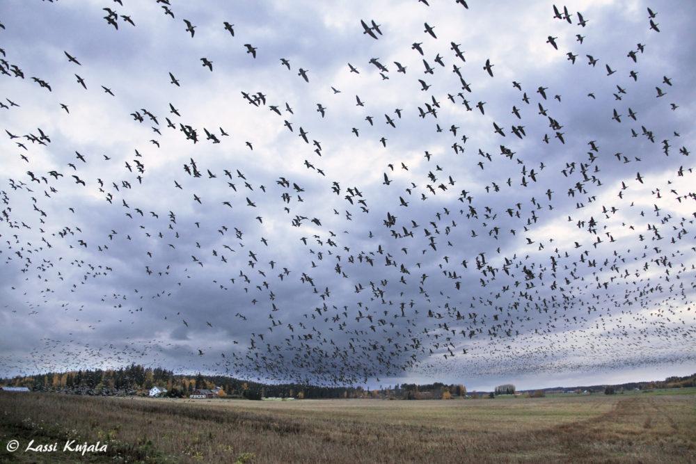 Iitin köyritulien iltaa on jo useana syksynä vietetty Jäämereltä saapuneiden tuhansien hanhien massaturismin värittämänä. Nyt Iitin pelloilla ja järvillä lomailee n. 200000 hanhea 2