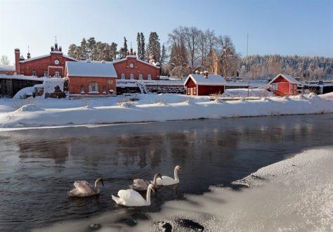 Kyhmyjoutsenet Verlassa   Kuva: Lassi Kujala