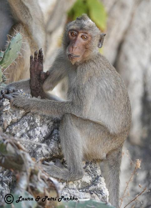 Laura ja Petri Parkon valokuvanäyttely Afrikan ja Aasian uhanalaisista apinoista ihastuttaa ja säpsäyttää yleisöä Iitin Kirkonkylän kylätalolla 2