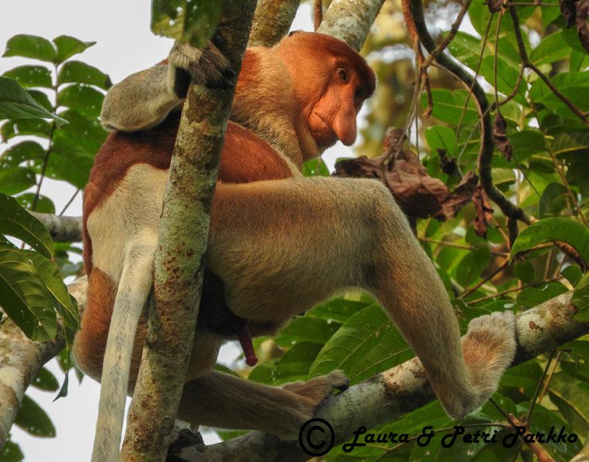 Laura ja Petri Parkon valokuvanäyttely Afrikan ja Aasian uhanalaisista apinoista ihastuttaa ja säpsäyttää yleisöä Iitin Kirkonkylän kylätalolla 3