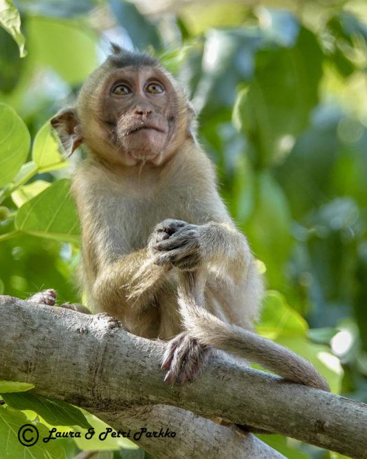 Laura ja Petri Parkon valokuvanäyttely Afrikan ja Aasian uhanalaisista apinoista ihastuttaa ja säpsäyttää yleisöä Iitin Kirkonkylän kylätalolla 1