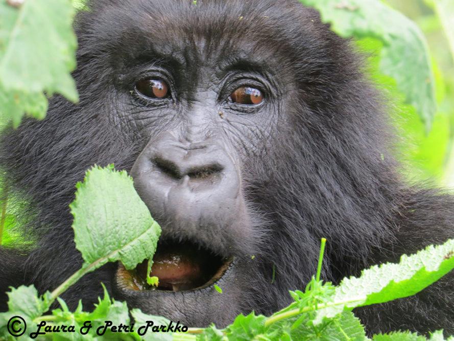 Laura ja Petri Parkon valokuvanäyttely Afrikan ja Aasian uhanalaisista apinoista ihastuttaa ja säpsäyttää yleisöä Iitin Kirkonkylän kylätalolla 4